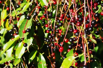 Bounty of Bird Cherry