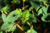 Two Bugs on Jewelweed